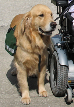 Wheelchair assistance dogs